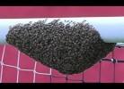 Enxame de abelhas apodera-se de barra de baliza