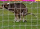 Cão interrompe jogo para deixar presente no relvado