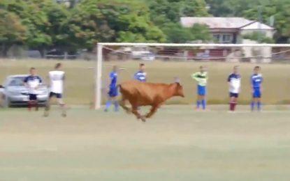 O inacreditável mundo do futebol: vaca dentro de campo e golo fantasma